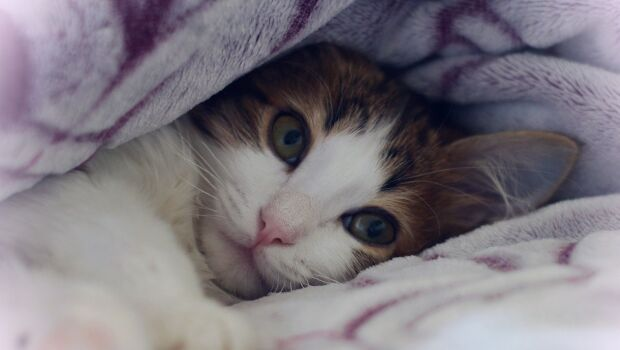 Platinossomose felina: descubra o que é e quais são os riscos para os gatos
