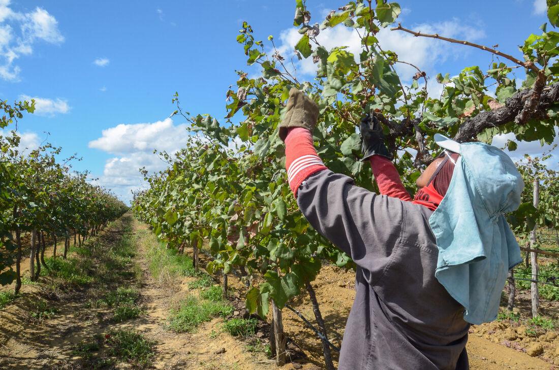 A uva da região tem preferência dos importadores do Reino Unido, Holanda e Estados Unidos