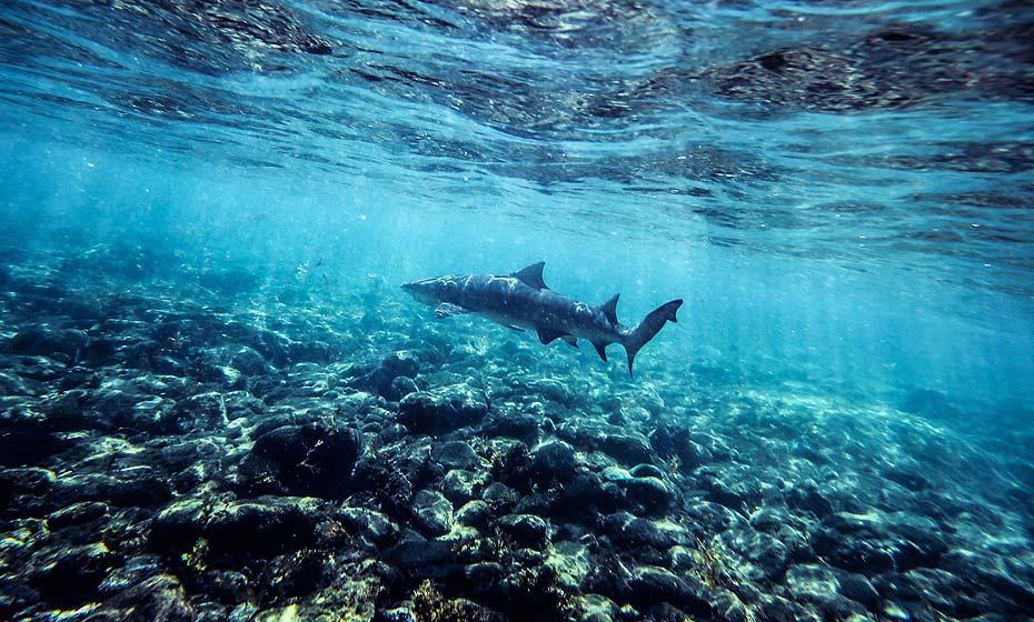 Tubarão em Noronha