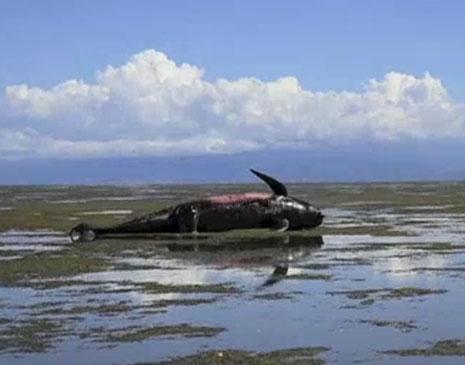 Baleia morta na Nova Zelândia