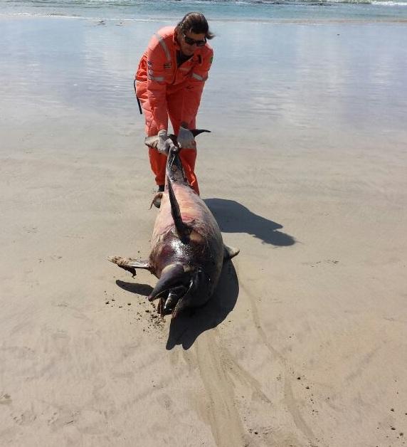 Golfinho encontrado morto