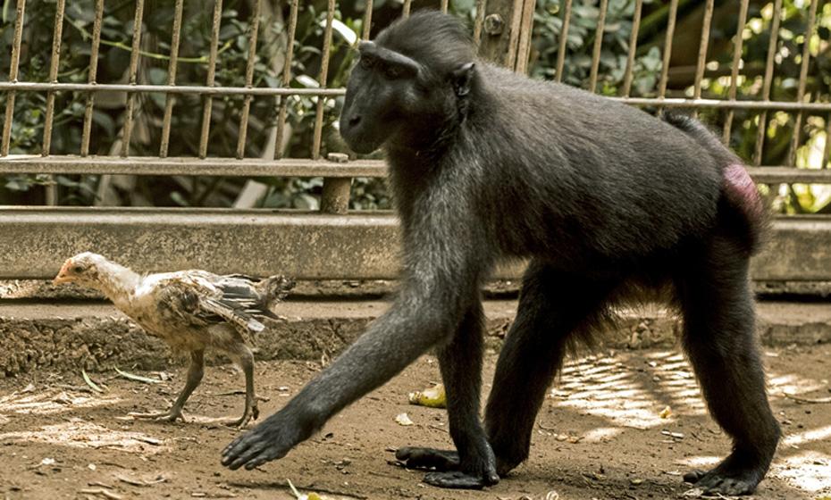 Macaca da Indonésia adotou um frango que invadiu o seu recinto