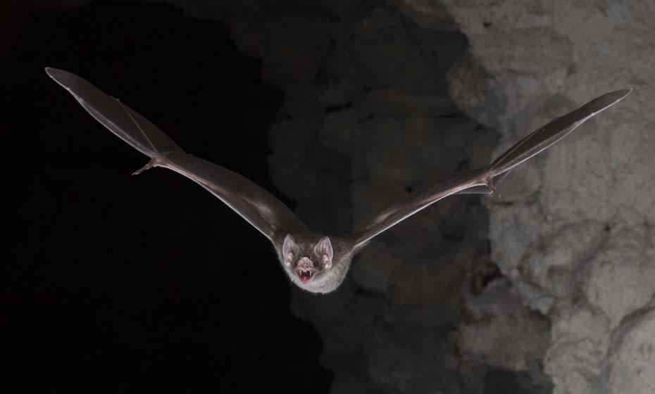 A origem do Sars-CoV-2 foi a partir de um coronavírus de morcegos, e não de pangolins