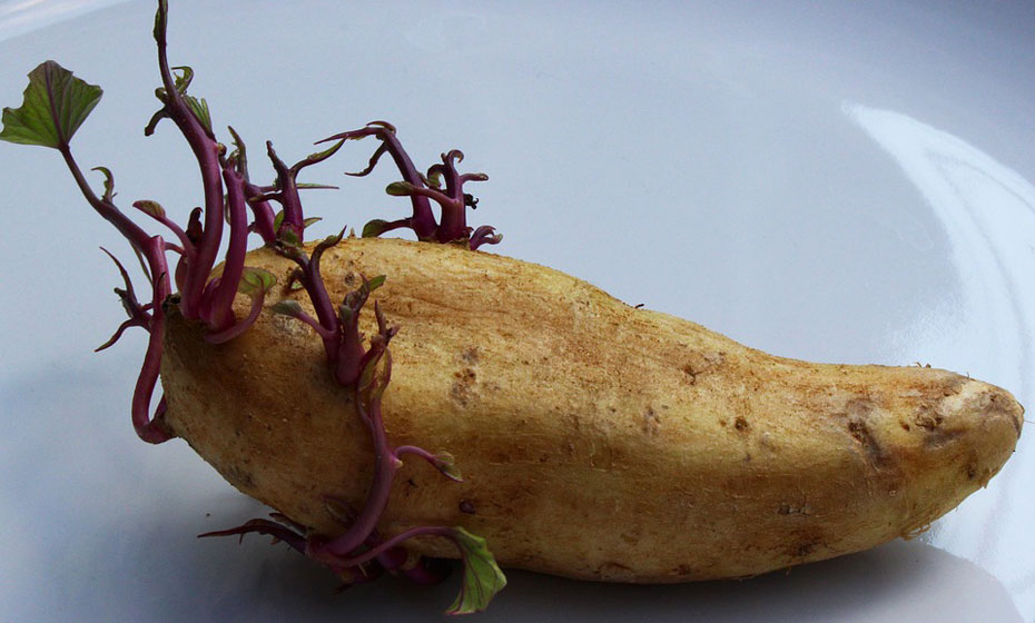 Batata doce germinando