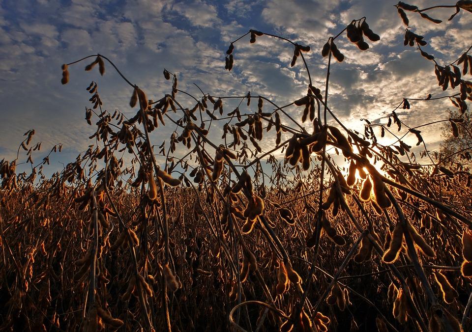 Exportadoras de soja devem dar prioridades de envio do produto da América do Sul para a China