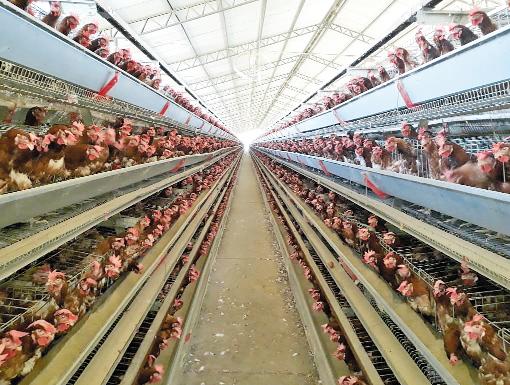 Recuperação da produção de aves é lenta, segundo produtores