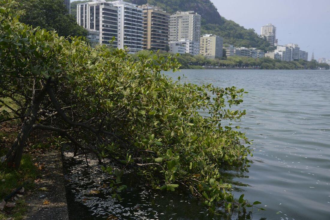 Peixes mortos na lagoa Rodrigo de Freitas