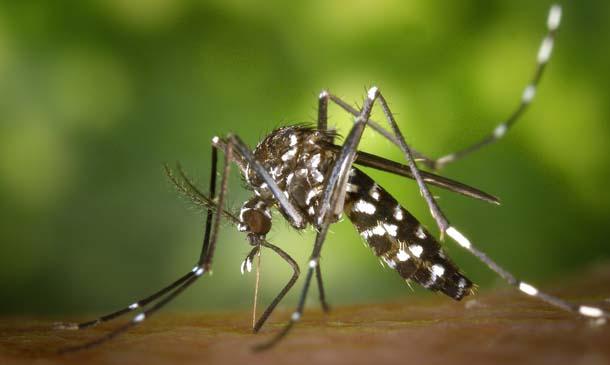 [610] Mosquito