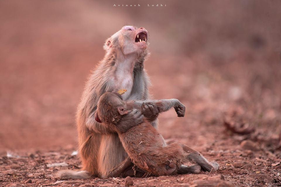 Foto de macaco com expressão de sofrimento supostamente segurando o seu filhote morto nos braços não foi tirada na Amazônia, nem sequer no Brasil, como sugerem algumas publicações