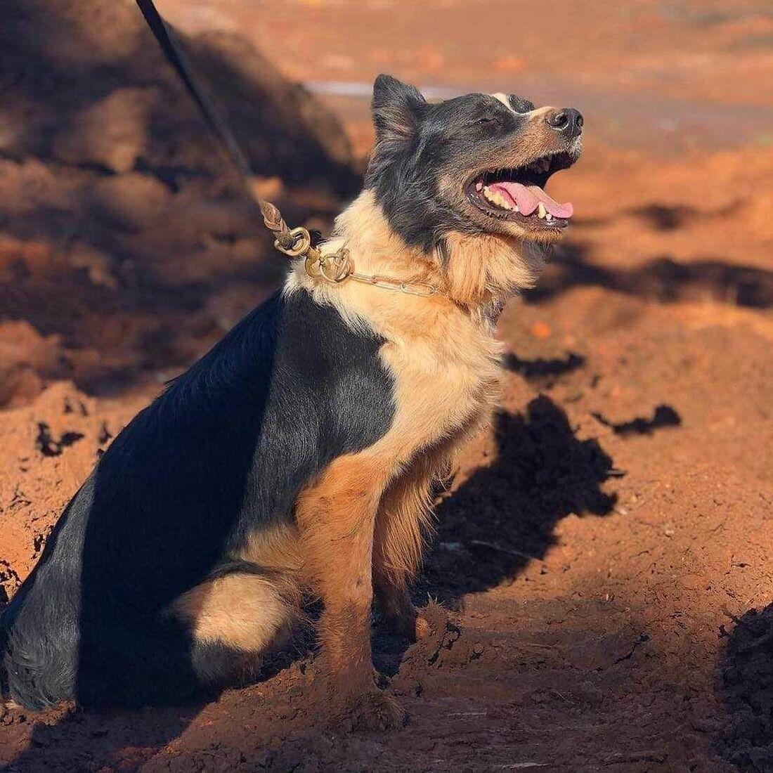 Cão dos bombeiros de MG que atuou em Mariana e Brumadinho morre por problemas de saúde