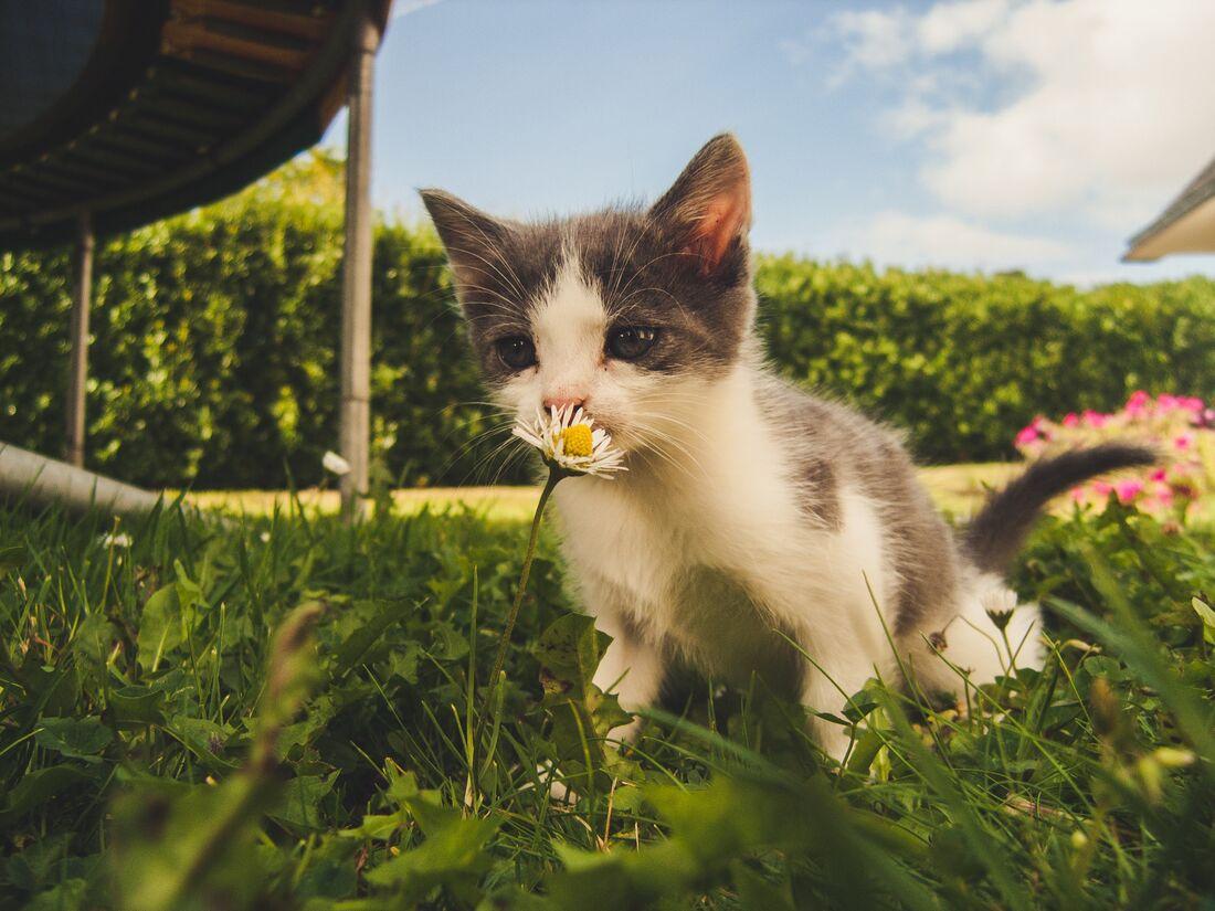 Gato beijando uma flor