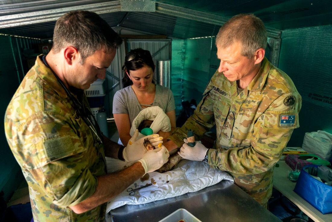 Militares ajudam coalas feridos na Austrália