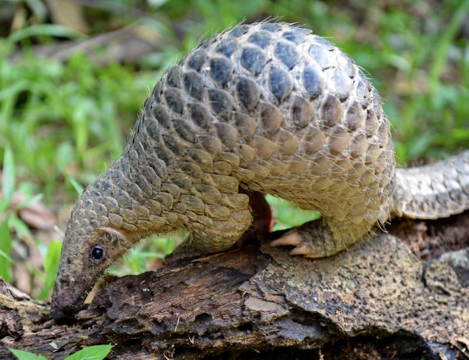 O Pangolim é um mamífero ameaçado de extinção