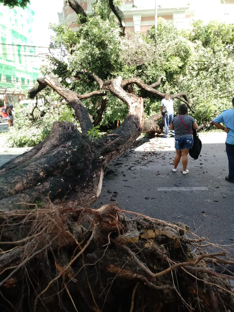 Queda de árvore na avenida Marquês de Olinda