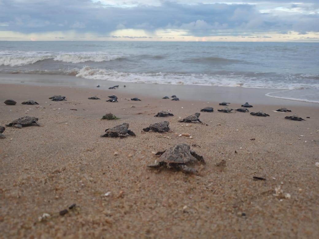 Mais 101 tartarugas nasciram em Paulista, na RMR