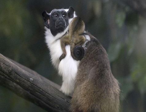 Filhote de sauim-de-coleira nasceu no Jardim Zoológico de Brasília