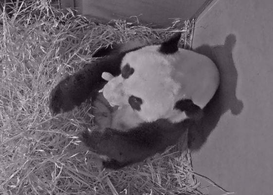 Primeiro panda gigante nascido na Holanda