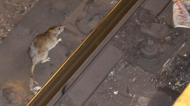 Rato em Nova York, nos Estados Unidos
