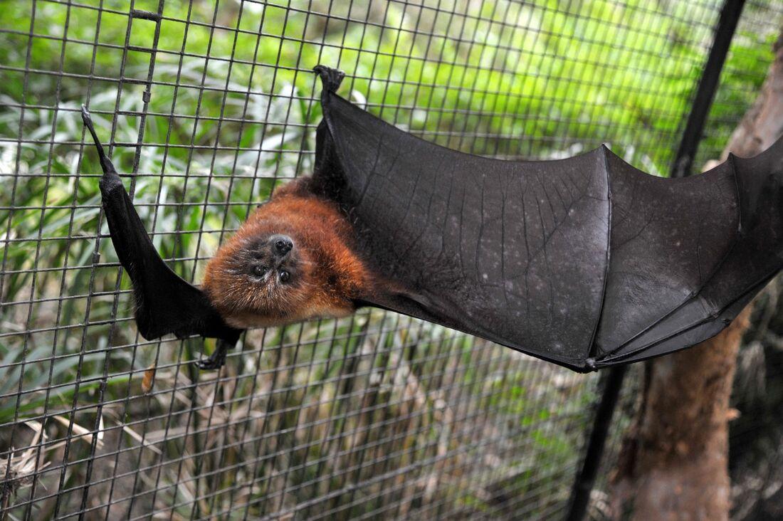 Morcego na Nova Caledônia