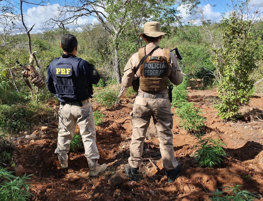 Erradicação de pés de cannabis sativa no Interior de Pernambuco