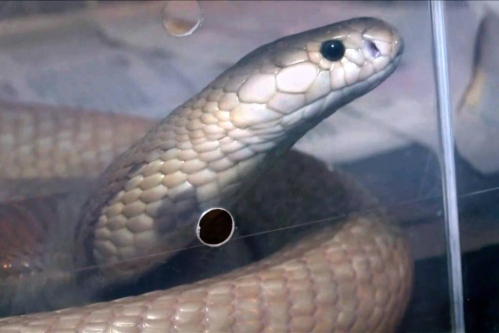 Cobra encontrada