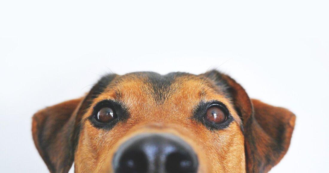 Cães precisam de cuidados especiais em tempos de coronavírus