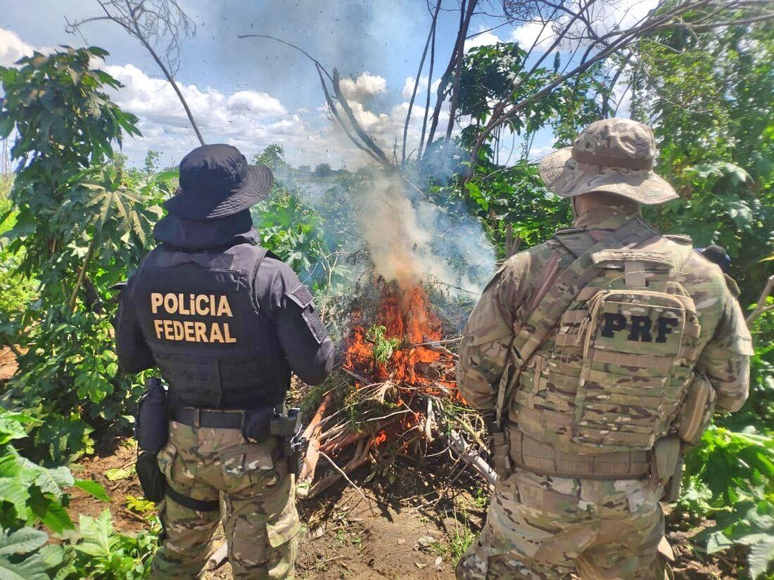 A operação erradicou 179 roças de maconha e foi deflagrada na zona rural de municípios de Pernambuco