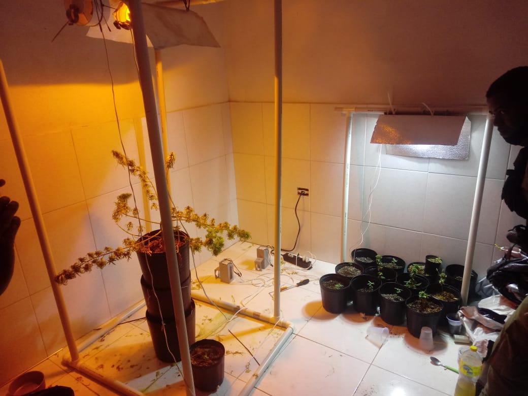Cultivo de skank, variedade da Cannabis