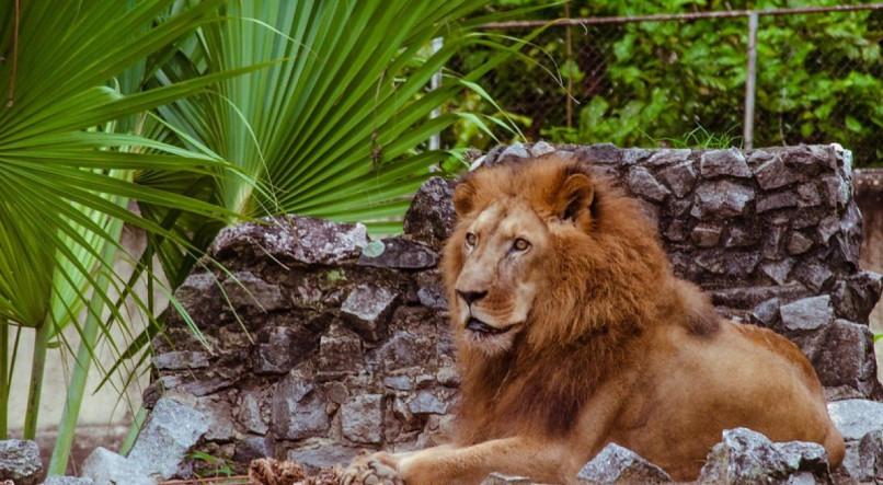 Leão Léo, do Parque Dois Irmãos