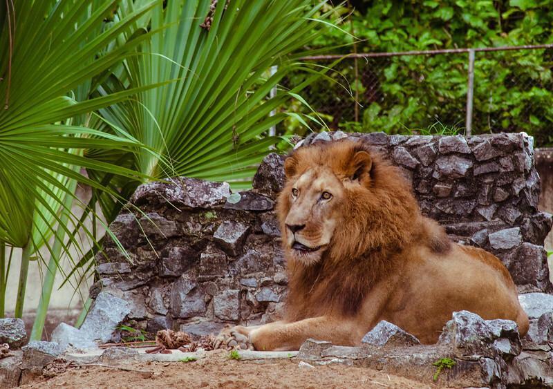 Léo, leão do Zoo Dois Irmãos, faleceu com 21 anos