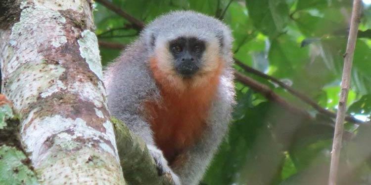 O sagui-de-schneider (Mico schneideri), com pelagem prateada na frente e tons de laranja e chumbo, se diferencia dos vários outros membros do gênero mico