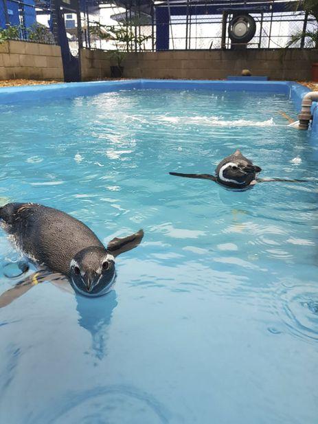 Pinguins resgatados na costa brasileira