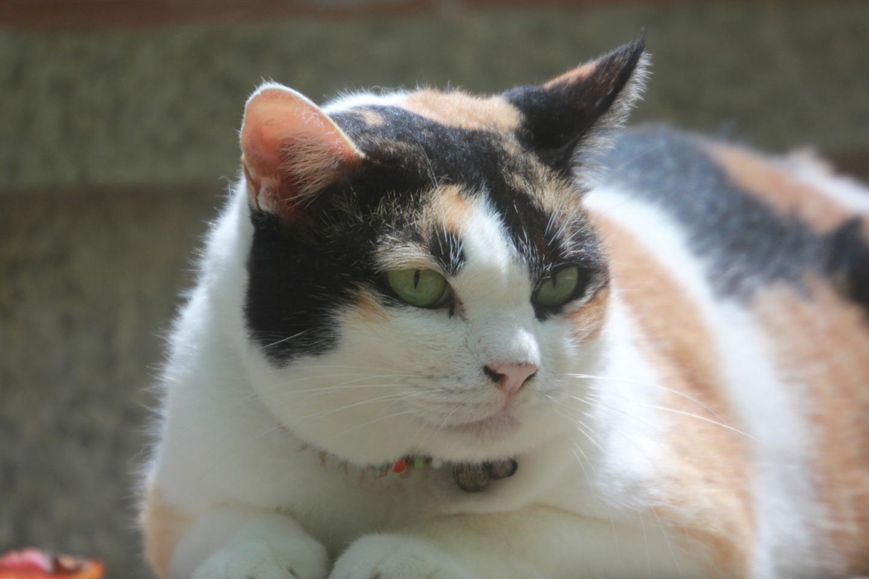 Gato gordo