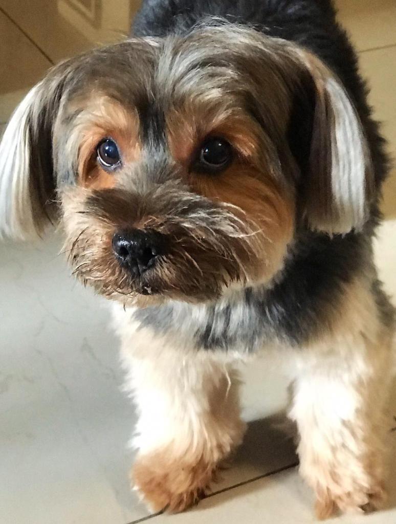 Bob, yorkshire terrier