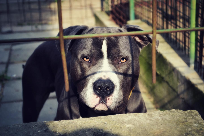 Cão da raça pit bull