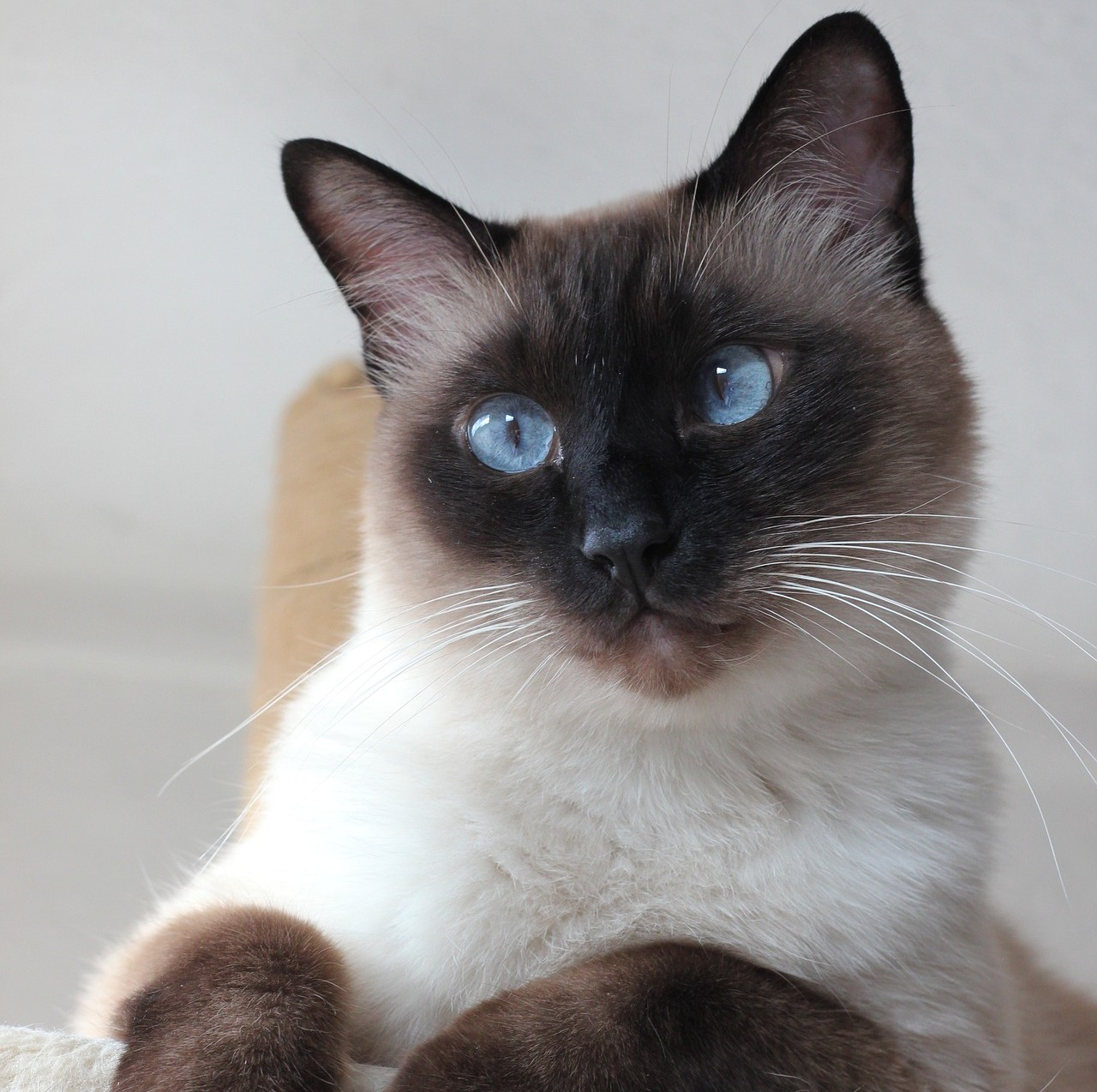 Estrabismo é uma condição recorrente em felinos da raça