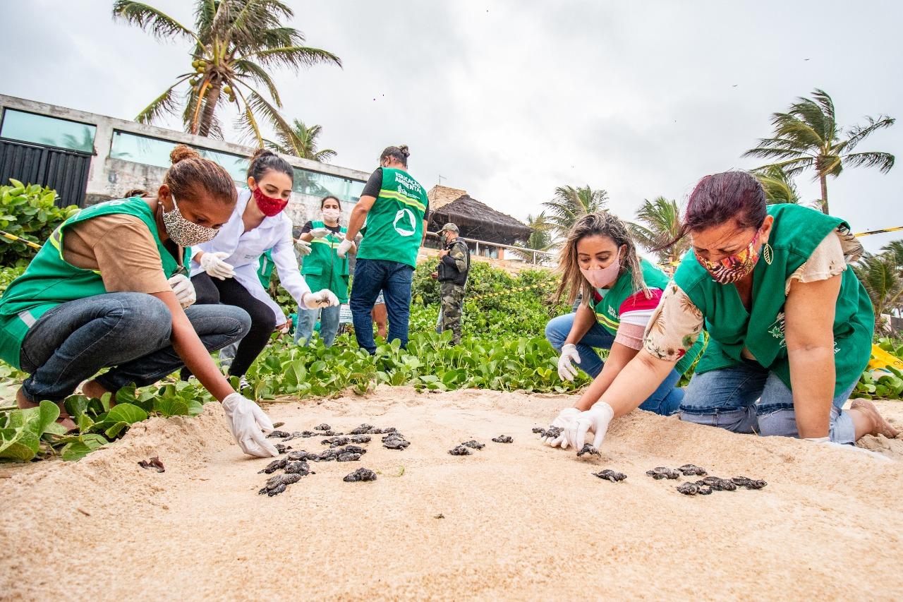 Nascimento de tartarugas-de-pente na Praia de Enseada dos Corais