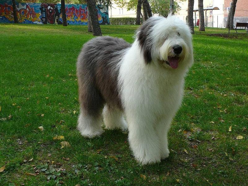 Cão da raça sheepdog