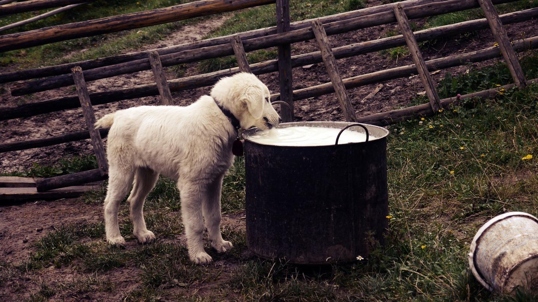 Cão bebendo leite
